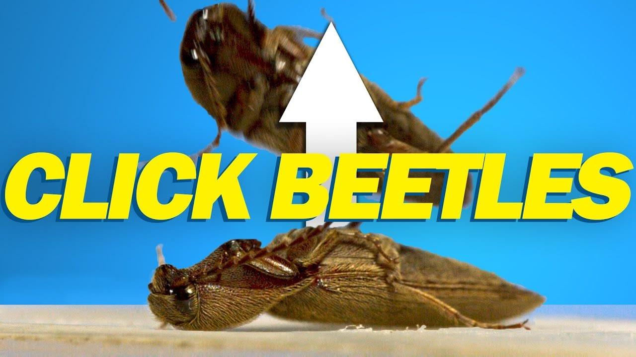 Bagaimana kumbang klik melompat?