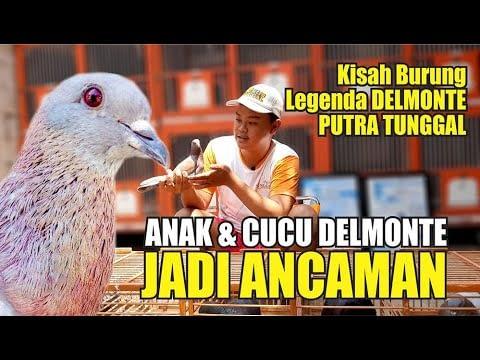 ANAK & CUCU DELMONTE JADI ANCAMAN : Kisah Burung Legenda Delmonte Putra Tunggal