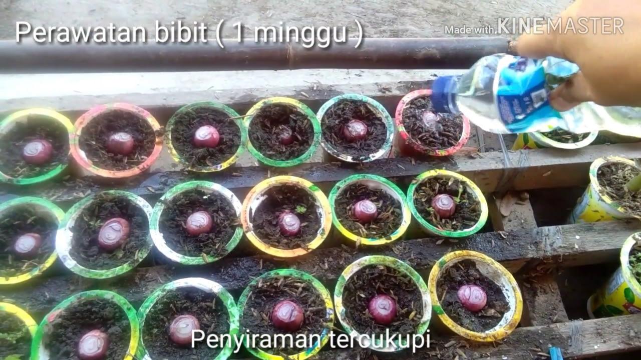 Menanam Bawang Merah Sendiri & Hobi Bertanam di Lahan Sempit