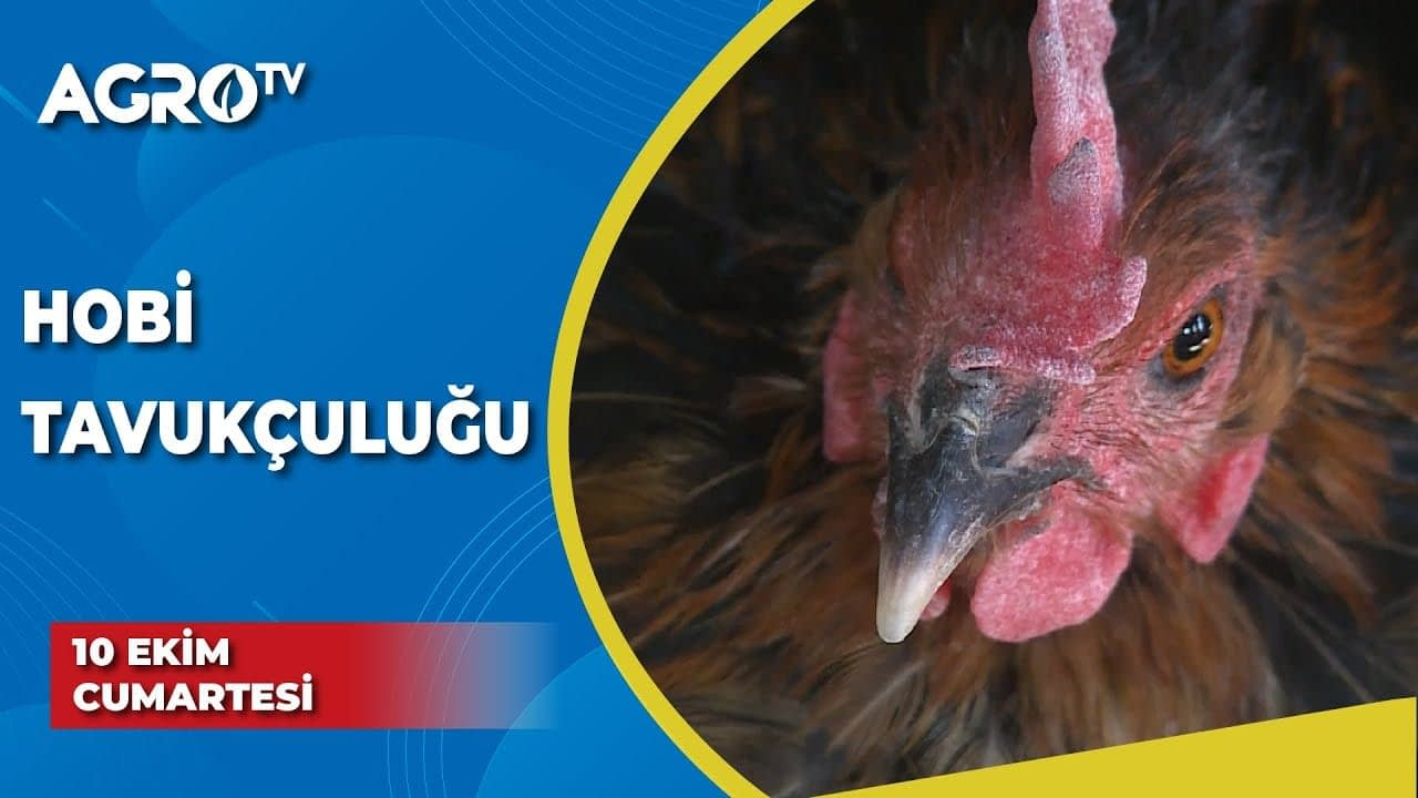 Apa itu Hobby Poultry?  / Unggas Kami – Agro TV