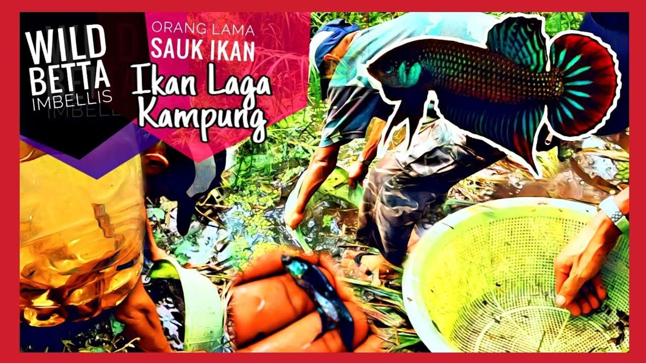 🔴 Wild Betta Imbellis Malaysia - Vlog Hobi Sauk Ikan Laga.