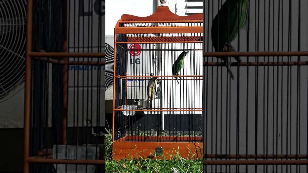 Cucak ijo SALJU burung muda yang berbakat